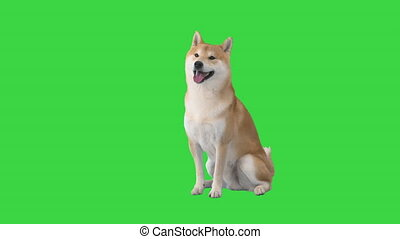 Wide shot. Red shiba inu sitting down on a Green Screen, Chroma Key. Professional shot in 4K resolution. 049. You can use it e.g. in your medical, commercial video, business, presentation, broadcast