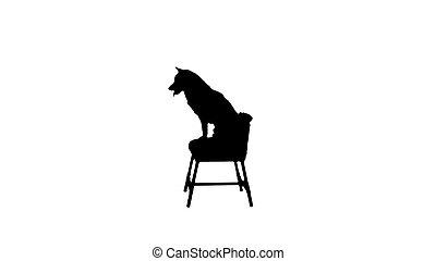 Shiba Inu dog sitting on a chair, Alpha Channel