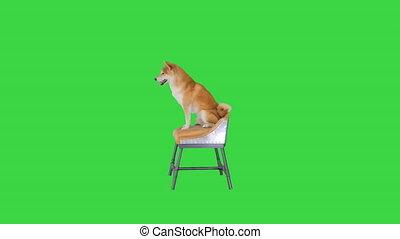 Shiba Inu dog sitting on a chair on a Green Screen, Chroma ...