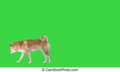 Wide shot. Walking in and out of the frame. Red dog shiba inu walking and sniffing on a Green Screen, Chroma Key. Professional shot in 4K resolution. 049. You can use it e.g. in your medical, commercial video, business, presentation, broadcast