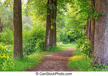 wide trail of tall trees in the summer