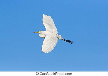 Great egret; Ardea alba; Casmerodius albus;