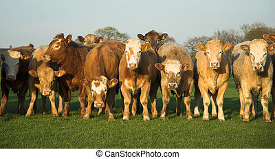 Widescreen Cows - Panoramic view of a herd of cows.
