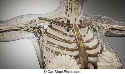 widoczny, kość, ludzkie ciało, przeźroczysty
