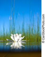 wie, der, wasser-lilie, wachsen