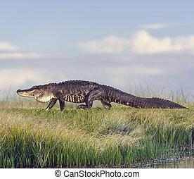wielki, aligator, floryda