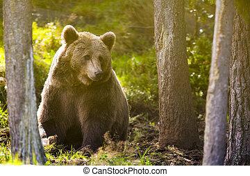 wielki, brązowy, dorosły, niedźwiedź, las