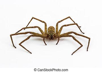 wielki, dom, spider.