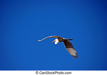 wielki egret, w locie