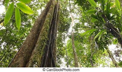 wielki, tropikalne drzewo, rainforest