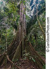 wielkie drzewo, w, przedimek określony przed rzeczownikami, peruwiański, amazon dżungla, na, madre, od, dios, peru