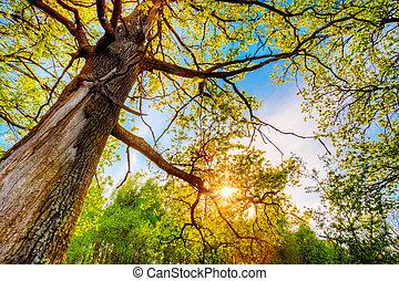 wierzchni, drzewa., dąb, branc, przez, wiosna, wysoki, słońce, baldachim, lustrzany