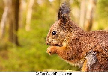 wiewiórka, z, orzechy laskowe, i, lato, las, na tle, dziki, natura, tematyczny, (sciurus, vulgaris, rodent)