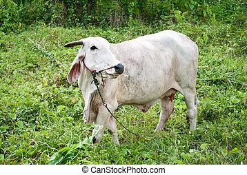 wihte cow in meadow