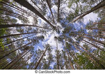 wijde hoek, bos, dennenboom, aanzicht
