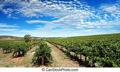 wijngaard, duidelijke lucht