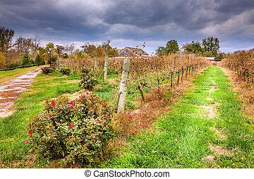 wijngaard, in, herfst