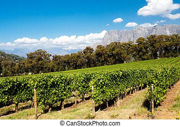 wijngaard, in, stellenbosch, kaapstad