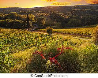 wijngaard, italië, tuscany
