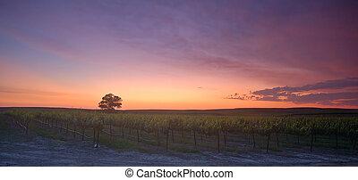 wijngaard, ondergaande zon