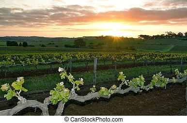 wijngaard, op, ondergaande zon