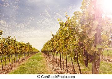 wijngaard, sunset.