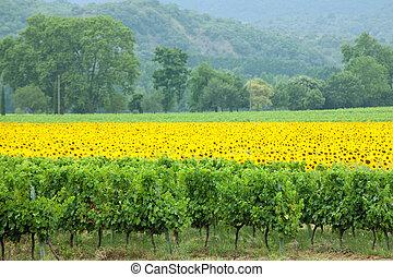 wijngaard, zonnebloemen