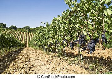 wijngaard, zonnige dag