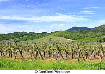 wijngaarden, elzas