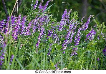 wikke, bloemen, paarse
