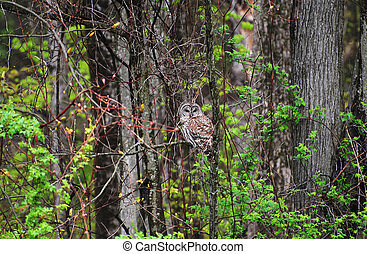 Wild Adult Barred Owl in the Woods