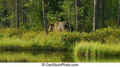 Wild adult brown bear walking free and eats vegetation in...