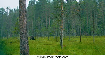 Wild adult brown bear walking in the forest while raining -...