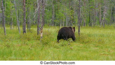 Wild adult brown bear walking into the forest - Big wild...