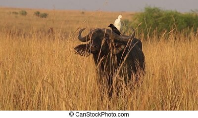 Wild African Buffalos