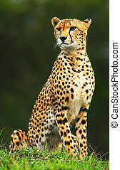 Wild african cheetah portrait, beautiful mammal animal, ...