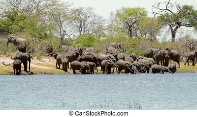 wild African Elephant, Africa safari - herd of African...
