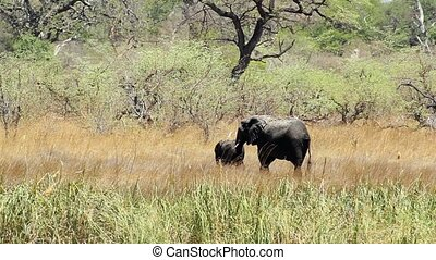 wild African Elephant female with baby, Africa safari in...