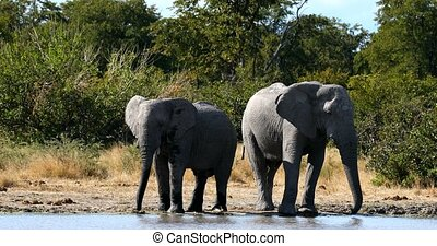 Wild African Elephant in Botswana, Africa - Family of Wild...