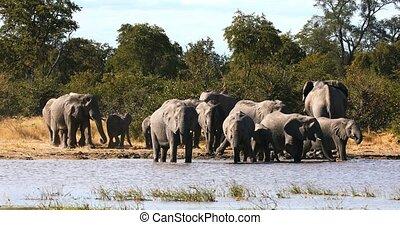 Wild African Elephant in Botswana, Africa - herd of African...