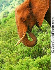 wild, afrikaanse olifant