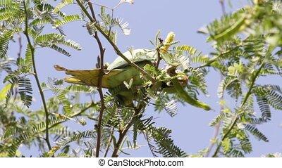 Alexandrine Parakeet - Wild Alexandrine Parakeet...