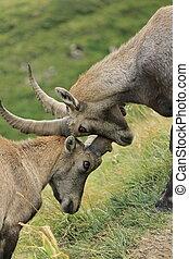 Wild alpine ibex - steinbock fight