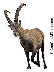 Wild alpine ibex - steinbock portrait