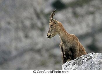 Wild alpine ibex - steinbock