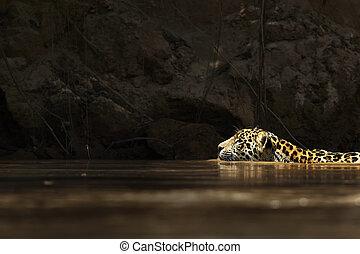 wild, amazonas fluß, jaguar, schwimmender