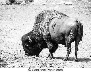 Wild american bison, Bison bison, aka buffalo on a pasture