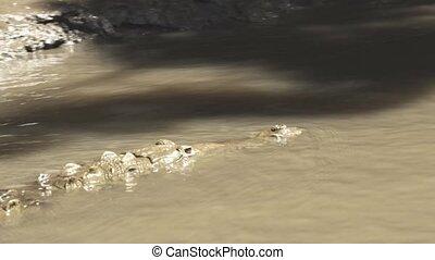 Wild American crocodile swimming in muddy river stalking its...