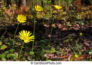 Wild And Yellow Daisy In The Forest