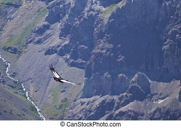 Andean Condor - Wild Andean Condor (Condor Vultur gryphus) ...